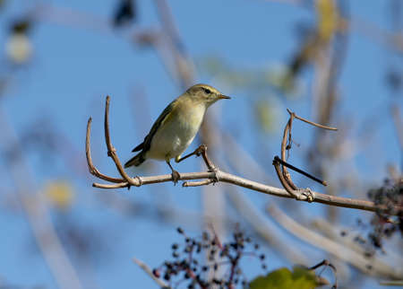 The common chiffchaff (Phylloscopus collybita) filmed sitting on a branch against a blue sky Imagens