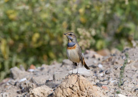 Male bluethroat (Luscinia svecica) in winter plumage filmed on plant branches and sitting on the ground closeup Reklamní fotografie