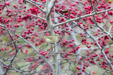 common chiffchaff (Phylloscopus collybita) shot on a bush with bright red berries Standard-Bild