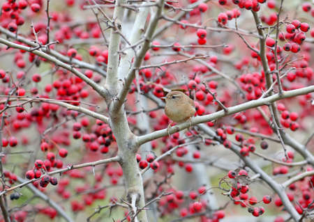 The Eurasian wren (Troglodytes troglodytes) filmed on branches of a hawthorn bush with red berries