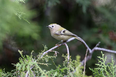 The goldcrest (Regulus regulus) portright shot close-up on a thuja branch