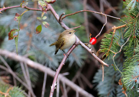 common chiffchaff (Phylloscopus collybita) shot on a bush with bright red berries Reklamní fotografie