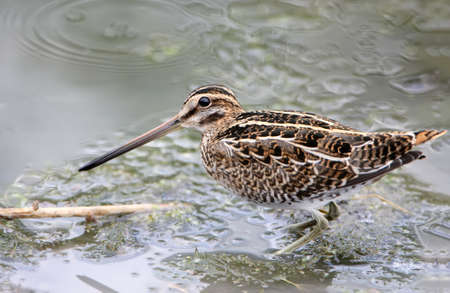 Snipe looking for food in shallow water and looking directly at the camera. Close-up and detailed photo