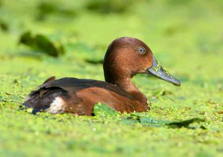 A female ferruginous duck (Aythya nyroca) swims in the green thickets of aquatic plants close-up photo