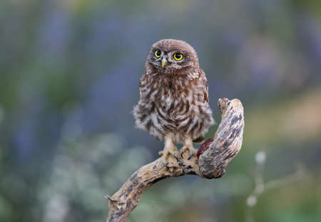 Close-up portraits of a young little owl sitting on a branch on a beautifully blurred background. Reklamní fotografie