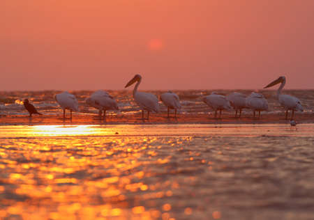 Birds and other animals are photographed in the rays of the rising sun in the Danube Delta. Delicate pink morning light and silhouettes of birds and animals. Reklamní fotografie
