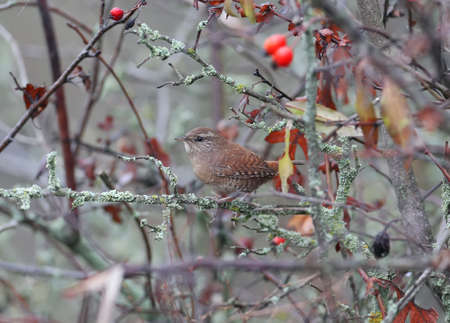 Wren sits deep in the rosehip bush with bright red berries. Details of the plumage of the bird and identification signs are clearly visible. Reklamní fotografie