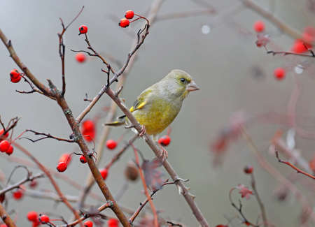 Male greenfinch filmed on a branch against a background of bright red berries of a hawthorn and a blurred background