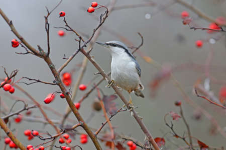 Eurasian nuthatch or wood nuthatch (Sitta europaea) filmed on a branch against a background of bright red berries of a hawthorn and a blurred background