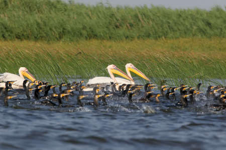 A flock of pelicans and great cormorants fish together in the shallow waters of the Danube.