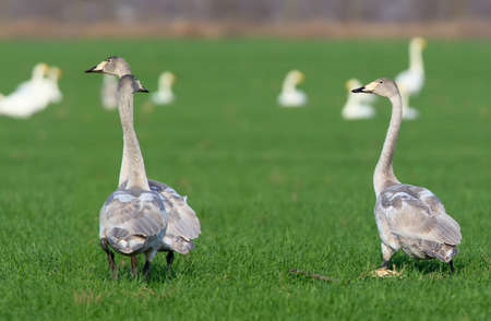 Three young whooper swans filmed on a bright green field of wheat on vacation. Close-up and detailed photo of birds