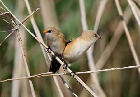 Bearded tits filmed on thin reed branches closeup