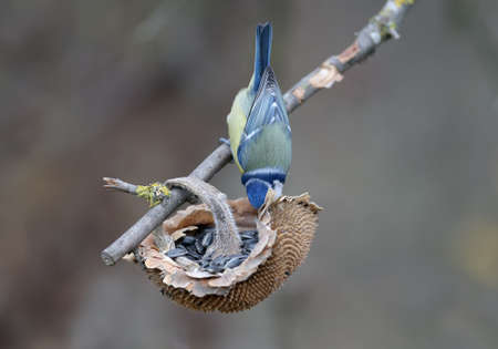 Blue tit acrobatically searches for sunflower seeds for food. Funny and close-up photo