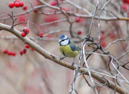 Blue tit shot on a hawthorn bush surrounded by red berries
