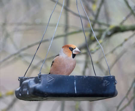Common  hawfinch  feeds on a plastic feeder in the forest. Close-up photo