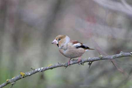 The hawfinch (Coccothraustes coccothraustes) sits on a thin branch on a blurred background