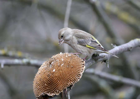 Male and female adult greenfinches taken close-up on tree branches and on artificial drinking bowls