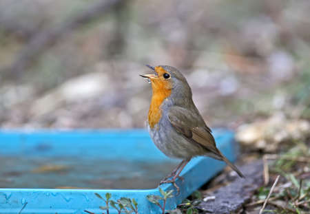 The European robin (Erithacus rubecula) was filmed on a branch and on a drinker. Close-up detailed photo in full color. Reklamní fotografie