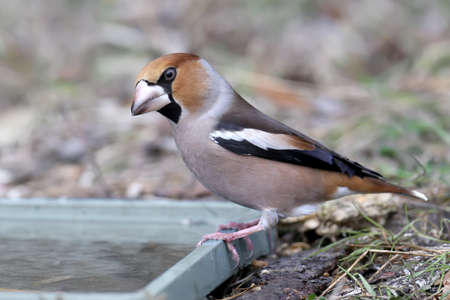 Unusually close-up hawfinch (Coccothraustes coccothraustes). The bird was shot near unusual drinking angles.