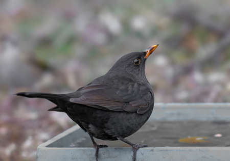 Close-up and detailed photos of a male blackbird sitting on branches and on an earthen drinking bowl for birds