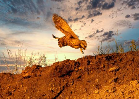 A young small owl filmed in flight against the evening sunset sky Reklamní fotografie
