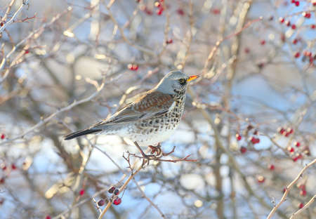 Close-up portrait of The fieldfare (Turdus pilaris) sitting on the branches of hawthorn with bright red berries Archivio Fotografico