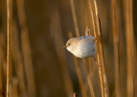 Male and female bearded reedling (Panurus biarmicus) photographed on reed stalks close-up in soft morning light 版權商用圖片