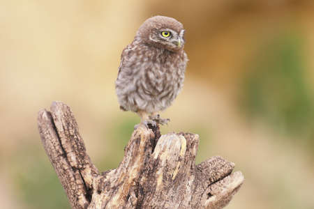 Adult birds and little owl chicks (Athene noctua) are photographed at close range closeup on a blurred background. The scenes of feeding the chicks with large black bugs and lizards are very expressive and unusual.