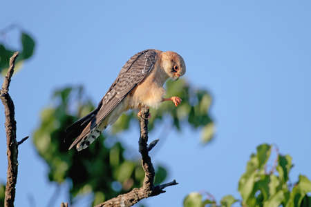 Young red-footed falcon photographed close-up in soft evening light in a variety of poses on dry tree branches