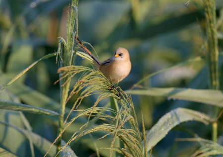 A young bearded reedling, also known as bearded tit (Panurus biarmicus), is photographed close-up in its natural habitat in the soft morning light of the golden hour against an unusual background. Stock Photo