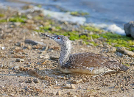 Close-up photo of a red-throated loon in winter plumage resting on the bank of the estuary