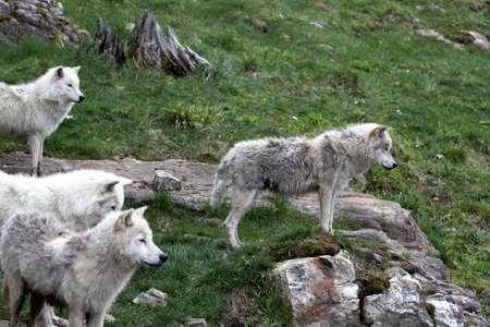 Arctic wolf pack scouting