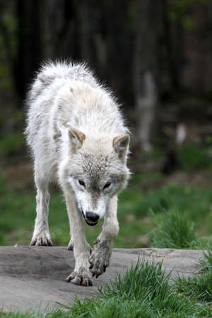 Arctifc wolf snarling while stalking Stock Photo