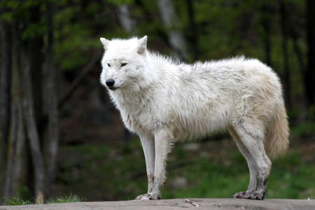 Arctic wolf standing alert Stock Photo - 7135626