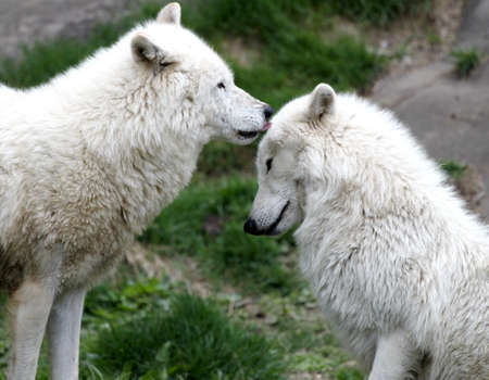 reliance: Arctic wolf pair grooming