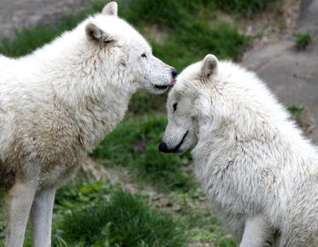 Arctic wolf pair grooming