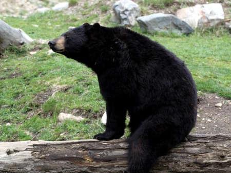 Black bear scratching on a log