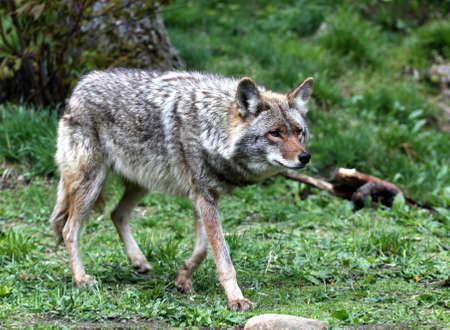 stalking: Coyote stalking his prey