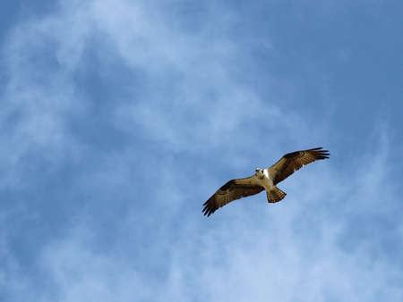 Osprey soars beneath a beautiful sky photo