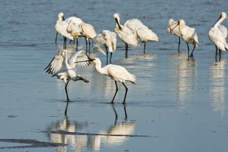 Group of spoonbills in the early morning sun