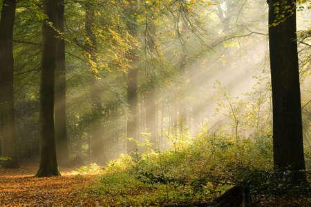 Sunbeams between the trees Stock Photo