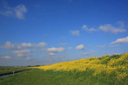 Yellow flowers in landscape with friendly cloudy sky