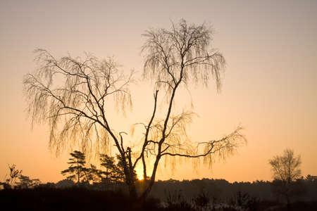 Birch in winter at sunrise in golden glow Stock Photo - 8901222