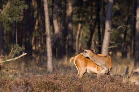 female red-dear, washing herserlf in the dutch wilderness