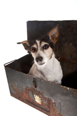 little jack russel in metal container on white background Stock Photo