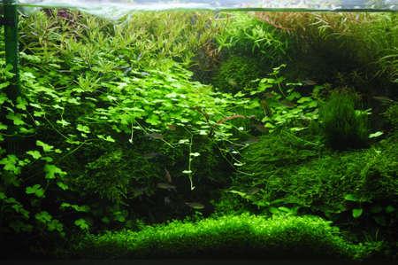 aquarium eau douce: Fragment de la belle plant� aquarium tropical d'eau douce