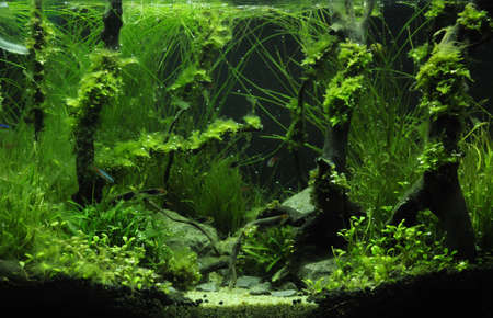 aquascaping: Green beautiful planted tropical freshwater aquarium - Rain forest