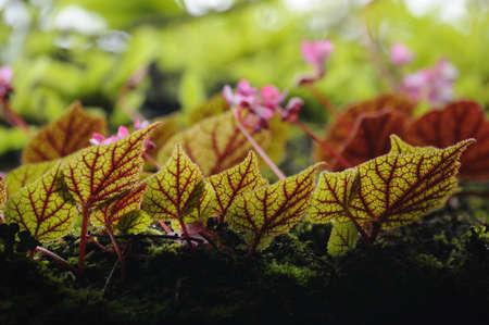 begonia: Beautiful leaves of begonia