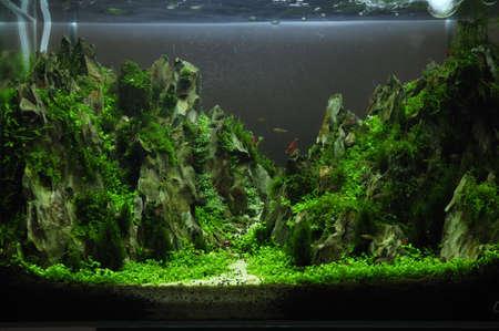 aquarium eau douce: Un beau vert aquarium plant? d'eau douce tropicale