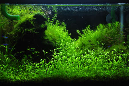 aquascaping: A green beautiful planted tropical freshwater aquarium Stock Photo